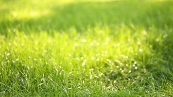 schönes niedriges Feldgras, langer makrofokussierter Schuss, grüne Pflanze, die mit Schärfentiefe auf dem Wind weht, Frühlingswiese, mit der Sonne scheint.