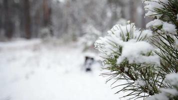 branche de pin dans la neige. chute de neige dans le parc forestier. paysage d'hiver dans un parc flou couvert de neige. vidéo hd