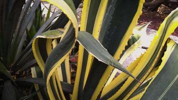planta agave verde e amarela no jardim botânico video