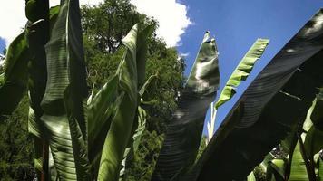banani nel giardino botanico ga33