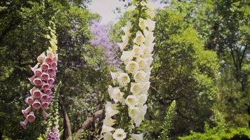 lindas flores rosa e branca de dedaleira no jardim botânico video
