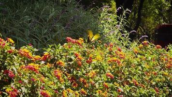 flores de polinização de borboleta amarela