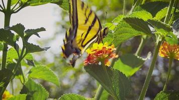 borboleta amarela comendo néctar