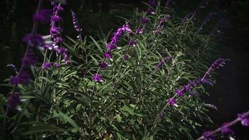 Close Up Of Lavender Plants In Botanical Garden