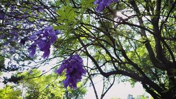 close up de flores de jacarandá video