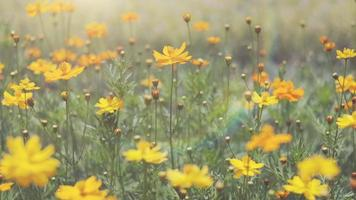 fleurs au lever du soleil en été. video