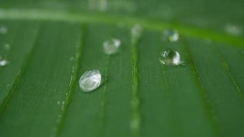 Water Drops on Tropical Green Leaf  video