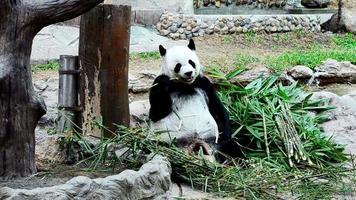 panda gigante comiendo bambú
