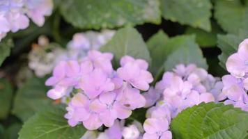 lila Hortensienblume im Garten am sonnigen Sommer- oder Frühlingstag. video