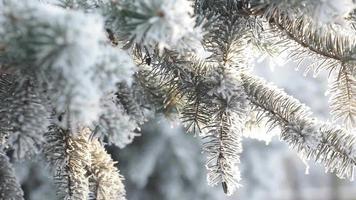 floresta de pinheiros de inverno com árvores de natal nevadas video