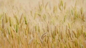 champ de fond de ferme de blé doré video