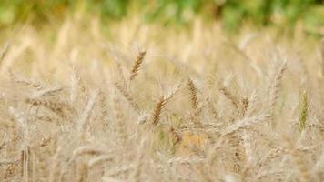 Field of Golden wheat farm background video