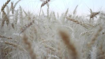 Feld des goldenen Weizenfarmhintergrundes