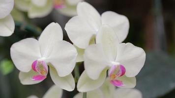 Phalaenopsis orchid in garden at winter or spring day.