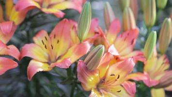 Lily Lilium hybrids flower in garden at sunny summer or spring day.