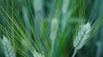 Close up of a green barley plant in farmland video