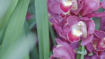 Cymbidium orchid flower in garden at winter or spring day.
