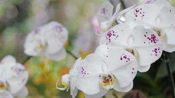Phalaenopsis orchid flower in garden at winter or spring day.