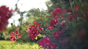 flores rojas en un parque de verano