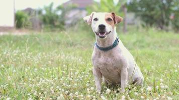 Jack Russell Terrier schaut in die Kamera video