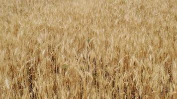 champ de blé video
