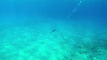 Cormorant fishing under water 4K