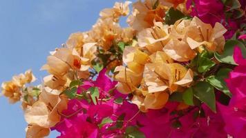 bellissimo fiore di bouganville video