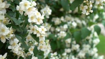 macieiras floridas no jardim video