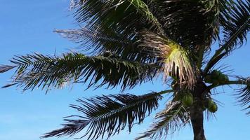 cima dell'albero di cocco