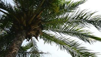 cima di una palma