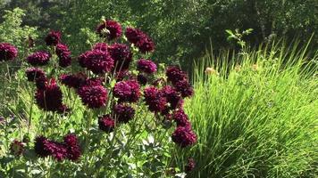 Dalias rojo oscuro se balancean en un campo de verde