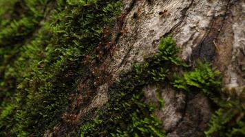 Ants Marching On Trees