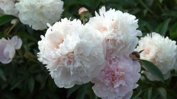 peonia bianca nel giardino estivo video
