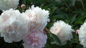 peônia branca em jardim de verão video