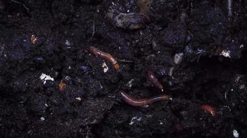Close Up Of Earthworm Tails video