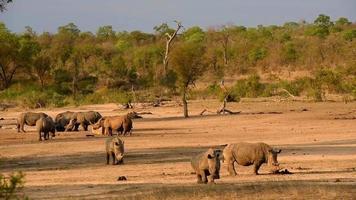 rinocerontes en un abrevadero durante la puesta del sol