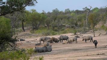 rinocerontes, jabalíes, impalas y ñus bebiendo juntos