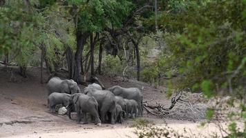 elefantes africanos bebiendo agua