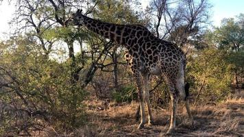 African Giraffe grazing from a tree
