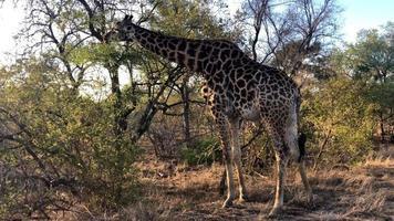 girafa africana pastando em uma árvore video