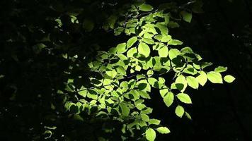follaje de árbol verde en la luz del sol