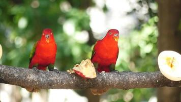 Parrots Eating Fruits On A Tree