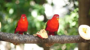 loros comiendo frutas en un árbol