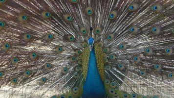 penas de cauda de pavão