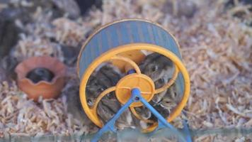 kleine Mäuse in einem sich drehenden Rad