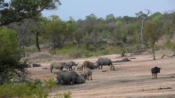 rinocerontes, javalis e gnus bebendo juntos