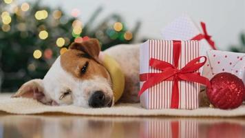 cachorro dormindo perto de decorações de natal