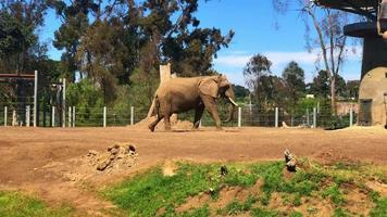 Elephant Walking In Cage At Zoo 4K