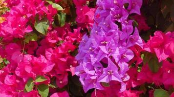 fiore di bouganville rosa video