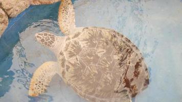 una tortuga gian en un acuario